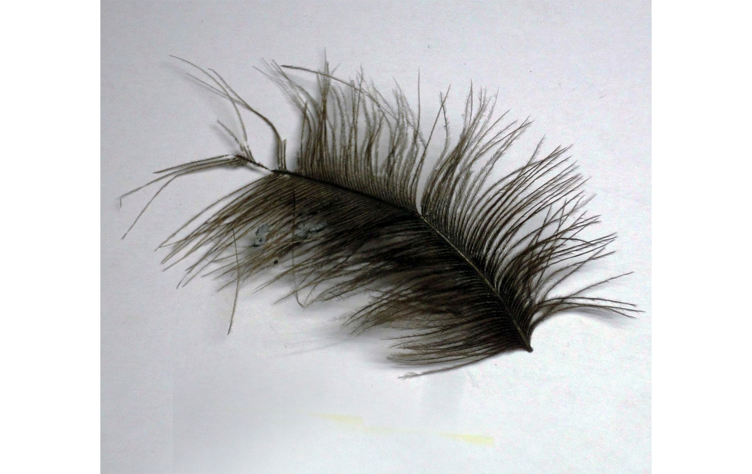 Feather from a feather duster