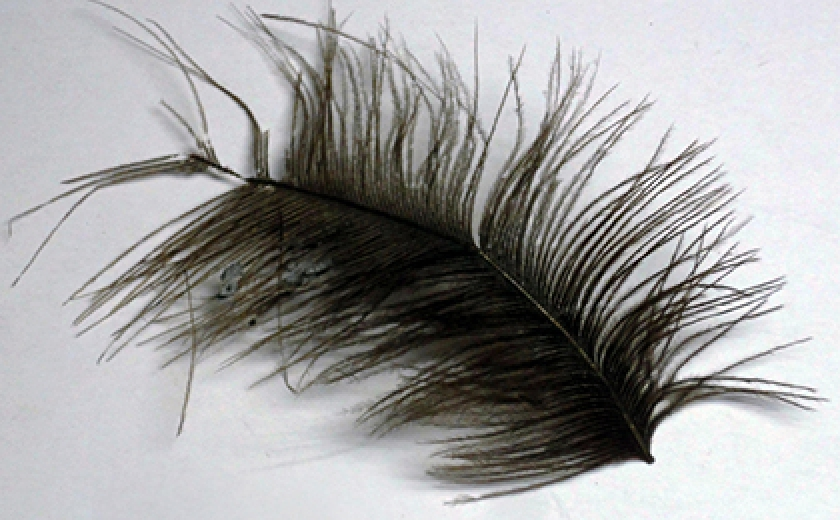 A feather from a feather duster used many years ago to clean the Museum